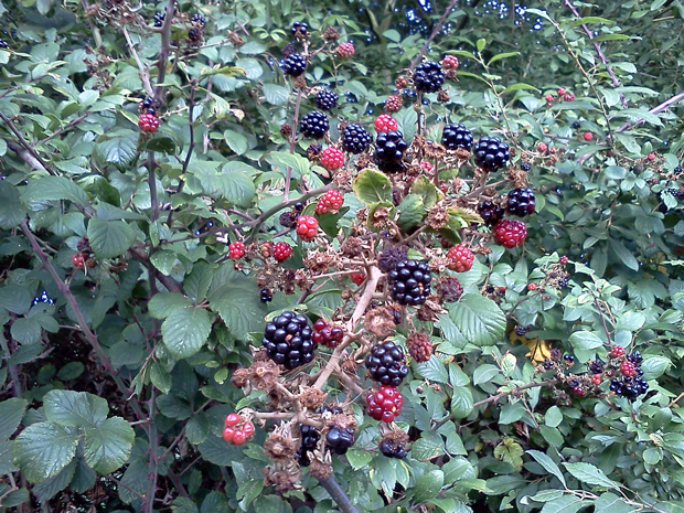 Berries by the roadside